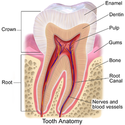 Dental Thermography Scans for Root Canals